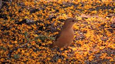 João-de-Barro em meio às flores da Sibipiruna caídas ao chão.