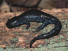 Blue-spotted Salamander I used to catch these when I was young.