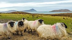A little number of small industries were set up on Achill through the centuries but none of them survived. Clare Island, Black Faced Sheep, County Mayo, Wild Nature, Sea Birds, Small Island, Flora And Fauna, Water Sports, Natural Beauty