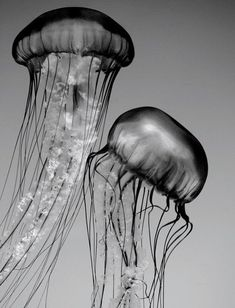 Jellyfish Art, Black and White Nature Photography, Animal, Underwater