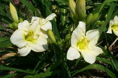 daylily 'Lime Frost' (Stamile)