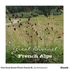 Cute Great Burnet Flower French Alps Poster #flowers