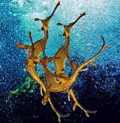 I find this a particularly beautiful image. Underwater Creatures, Underwater Life, Ocean Creatures, Weedy Sea Dragon, Life Under The Sea, Dragons, Deep Blue Sea, Sea And Ocean, Sea World