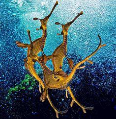 seadragon dance