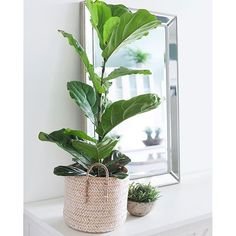 The Fiddle Leaf Fig Tree has to be the hippest of houseplants right now. Here are 5 top tips from the experts for caring for your Fiddle Leaf Fig Tree Plantas Indoor, Fiddle Leaf Fig Tree, Coastal Living, Houseplants, Cactus Plants, Feng Shui, Indoor Plants, Greenery, Leaves