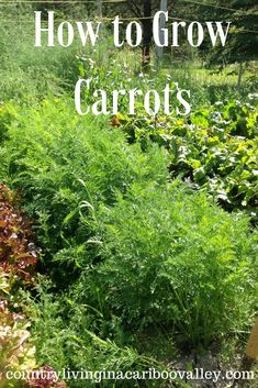 Carrots are not hard to grow and they store great for Winter eating. Here's how to grow them.