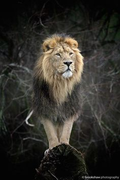 "brookshawphotography: ""The King Iblis, the magnificent male Asiatic Lion at Chester Zoo! Nature Animals, Animals And Pets, Cute Animals, Beautiful Creatures, Animals Beautiful, Big Cats, Cats And Kittens, Asiatic Lion, Gato Grande"