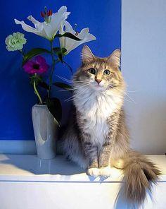Norweigen Forest Cat--what a beauty!