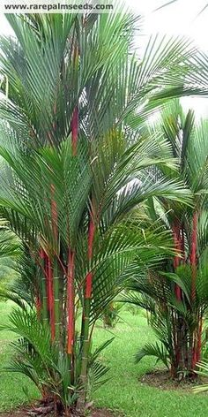 Cyrtostachys renda (Red Sealing Wax Palm, Lipstick Palm, Rajah Palm) Considered one of the most colourful and exotic palm tree in the world, Cyrtostachys renda Palm Trees Landscaping, Florida Landscaping, Tropical Landscaping, Garden Landscaping, Tropical Garden Design, Tropical Plants, Tropical Gardens, Balinese Garden, Florida Plants