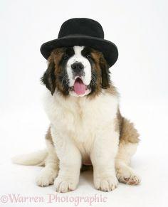 Dog: Saint Bernard puppy wearing a gangster hat photo