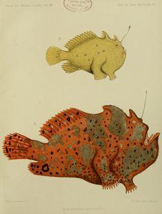 Vintage illustration of frog fish Vintage Illustration Art, Plant Illustration, Botanical Illustration, Illustrations, Sea Drawing, Scientific Drawing, Illustration Botanique, Street Art, Fish Drawings