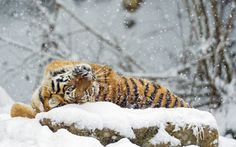2017-03-22 - High Resolution Wallpapers tiger wallpaper - #1919006