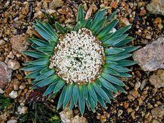 Valeriana rigida by Polylepis, via Flickr