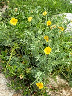 Yellow Horned-poppy - Glaucium flavium by Peter Herring, via Flickr