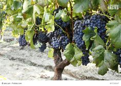 Monica - Red Wine DOC - The Monica vine is one of the longest-standing in Sardinia and is to be found all over the island. Is believed that its introduction is due to the Camaldulian monks around the 11th century, from whom its name is derived. Another theory instead attributes its introduction to the Spain during its dominion on the island. This vine grows well with good yeld on calcareous soils in hilly areas well exposed to the sun. See more at: www.themediterraneantastes.com