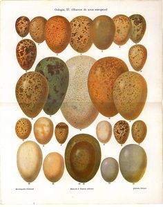 Eggs European Birds Vintage Lithograph 1923 by carambas on Etsy