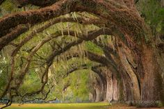 Boone Hall Planation in Charleston, South Carolina by Anne McKinnell (C curves)