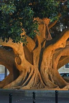 Old ficus tree in the city of Cadiz in Andalusia, Spain