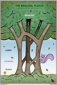 Brachial Plexus by J. Muniz, PA-C & cartoonist