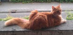 Main Coon Bram. Technically not my pet, but my sister's. Stays with us when she is on holidays. Found dead of unknown causes in the garden on October 2, 2013.