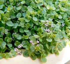 Medicinal and Culinary Corsican Mint #medicinal #herb