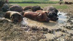 Bio Schweine beim suhlen Hippopotamus, Dogs, Animals, All Saints Day, Agriculture, Meat, To Draw, Ideas, Animales