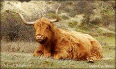 Schotse Hooglander in de Kennemerduinen