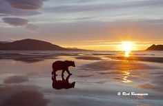 Sunrise, bear at low tide.