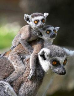 Los monos también portean