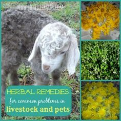 herbal remedies for livestock and pets~JoybileeFarm