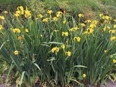 Iris :) In my garden Margeritten - by Inger Johanne :)