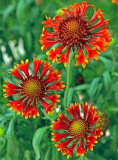 Blanket-flower: Gaillardia
