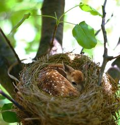 When enlarged the photo, this is very def a small deer in this nest...did some one put him there? this doesn't look like a photo that has been photoshopped or altered. how would he have gotten into this nest?