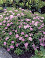 Spiraea japonica 'Little Princess' is a dainty spiraea reaching in height. These rounded shrubs have smaller leaves than many other Spiraea. They have pleasant light pink flowers in summer. Garden Shrubs, Garden Planning, Outdoor Gardens, Little Princess Spirea, Landscape Projects, Spirea, Backyard Garden Landscape, Light Pink Flowers, Plants