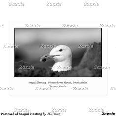 Postcard of Seagull Nesting