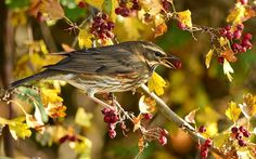 Koperwiek  (Van vroegevogels)