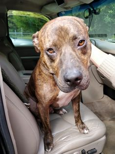 ~ COURTESY ~ Jackson is an adoptable Dog - Pit Bull Terrier searching for a forever family near Mobile, AL. Use Petfinder to find adoptable pets in your area.