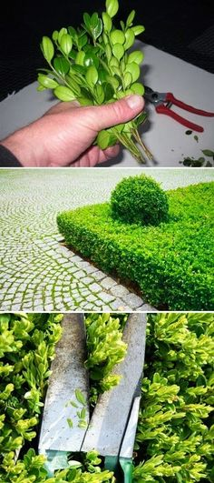 How to grow boxwood from cuttings
