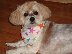 Shih-Poo (Shih ztu/Poodle mix) Kinda looks like my Stella<3