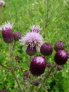 Edible Milk Thistle - how to find it and distinguish it; It grows in many places around the world; The young stalks, leaves, roots, and flowers can be eaten