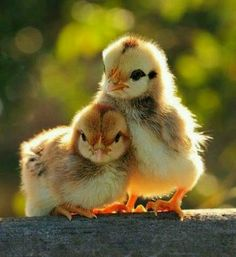Aw. Cute ducklings.