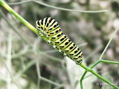 Papilio Macaone by Vittorio Zanoni on 500px