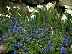 Early spring border - Narcissus 'Thalia' underplanted with Pulmonaria 'Blue Ensign' - very nice colour combination (or Scilla sibirica??)
