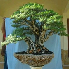 Are you interested in getting an indoor bonsai tree? If you are, then you definitely need to learn about how you can take good care of your tree so that it will survive life indoors. Boxwood Bonsai, Ficus Bonsai, Bonsai Plants, Bonsai Garden, Bonsai Trees, Ficus Tree, Topiary Trees, Bonsai Tree Types, Plantas Bonsai