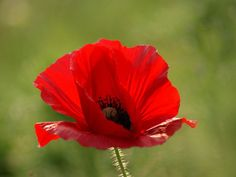 Free-Shipping-3-Packs-300-of-Corn-Poppy-Seeds-Papaver-Rhoeas-Flowers-Seed-A063.jpg (700×525)