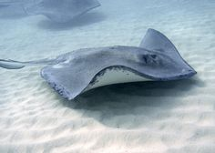ACEO art card metallic photography  tropical stingrays from Cayman Island...did it! AMAZING