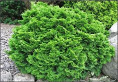 Templehoff Hinoki Cypress (1m high & wide) Beautiful slow growing evergreen with lush dark green cupped foliage Bronze tipped in fall.  Full Sun. Canadale Nurseries Ltd.