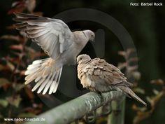 Winterfeste Südländerin - Die Türkentaube im Wintervögel-Porträt - https://www.nabu.de/tiere-und-pflanzen/aktionen-und-projekte/stunde-der-wintervoegel/vogelportraets/13059.html