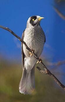 The noisy miner (Manorina melanocephala subsp. leachi) is a bird in the honeyeater family, Meliphagidae