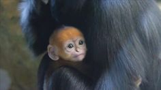 An adorable baby Francois' Langur has been born in Toronga zoo in Australia. #Entertainment #EntertainmentNews #CelebNews #CelebGossip #Music #Movies #Current